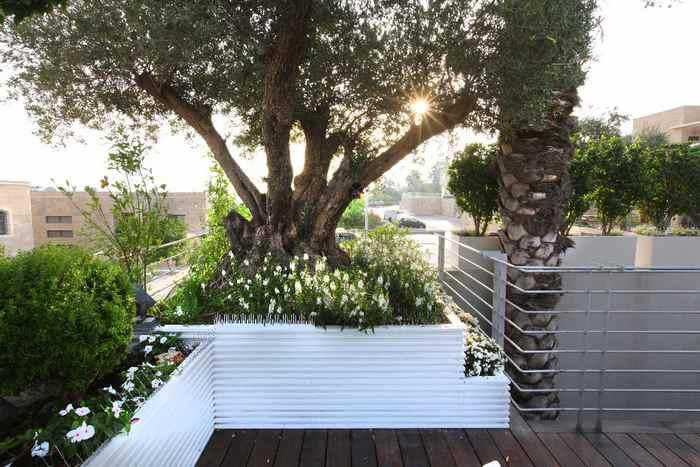 עצי פרי לגינה - עצי זית ודקל