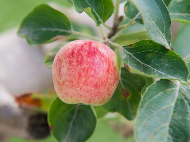 עץ פרי של תפוח