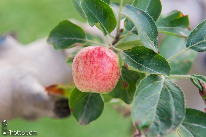 עץ תפוחים